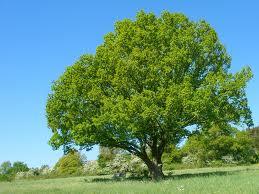 amerikanska träslag