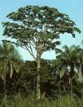 Iroko träslag