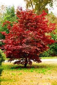 Lönn träslag rödaktigt virke