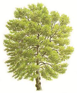 Poppel träslag