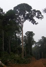 Sapeli träslag